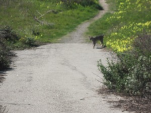 Mr. Bobcat up near Ragged Point this weekend